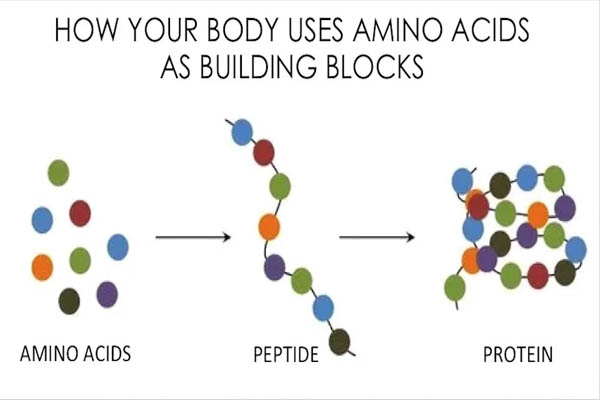 building blocks of our body